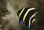 Gray Angelfish juvenile, Pomacanthus arcuatus