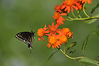 Black Swallowtail (Papilio polyxenes), adult feeding on Mexican flame vine (Senecio confusus), Hill Country, Texas, USA