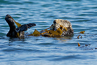 Southern Sea Otter (Enhydra lutris nereis) resting while wrapped in kelp.  Central California Coast.  Being wrapped in kelp helps keep the otter from drifting away with the tide/current/wind while resting.