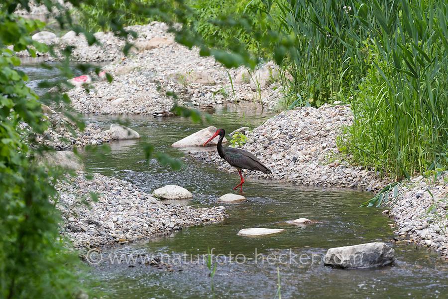 Schwarzstorch, Schwarz-Storch, Ciconia nigra, black stork, La cigogne noire. An der renaturierten Steinau in Hammer