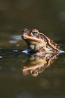 Gulf Coast Toad (Bufo valliceps), adult in pond, Dinero, Lake Corpus Christi, South Texas, USA