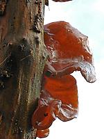 Judasohr, Ohrlappenpilz, Holunderschwamm, Judas-Ohr, Ohrlappen-Pilz, Holunder-Schwamm, Auricularia auricula-judae, Hirneola auricula-judae