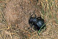 Schwarzblauer Ölkäfer, Schwarzer Maiwurm, Weibchen bei der Eiablage, Meloe proscarabaeus, Meloë proscarabaeus, oil beetle, black oil beetle, European oil beetle, le Méloé printanier