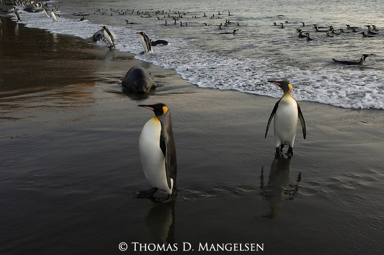 A Southern elephant seal looks on as king penguins exit the ocean onto the beach in St. Andrews Bay, South Georgia.