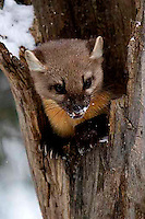 Martens (Martes americana) are common, but really rarely seen.<br /> 18-26 inches long, 1-3 pounds.<br /> A middle member of the weasel family with short limbs and long bushy tail. fur varies from light to dark brown or<br /> black; irregular, buffy to bright orange throat patch. <br /> NPS Yellowstone Resource 2011.