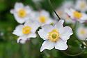 Japanese anemone x hybrida 'Richard Ahrens', early October.