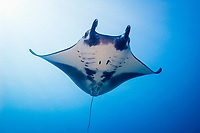 oceanic manta ray, Manta birostris, Valley of the Rays, Goofnuw Channel, Yap, Federated States of Micronesia, Pacific Ocean