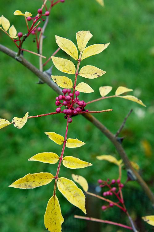 Berries and autumn foliage of Zanthoxylum simulans, end October.