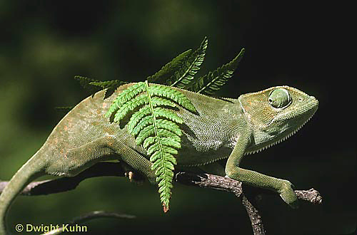CH25-036z  African Chameleon - color change due to temperature difference, under leaf skin is cooler -   Chameleo senegalensis  .