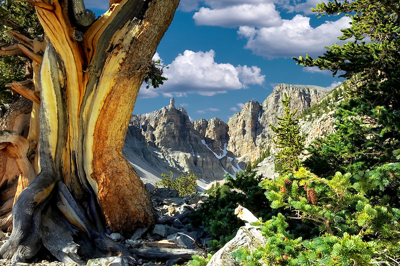 Close up of Bristlecone Pine and Wheeler Peak. Great Basin National Park, Nevada