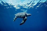 leatherback sea turtle, Dermochelys coriacea, mature female off Mexiquilla Beach, Mexico, East Pacific Ocean