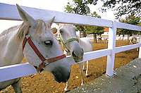 Lipizzan horses at the stud farm at Lipica, Founded in 1580 in the Karst area of Primorska Region in Slovenia, AGPix_0554.