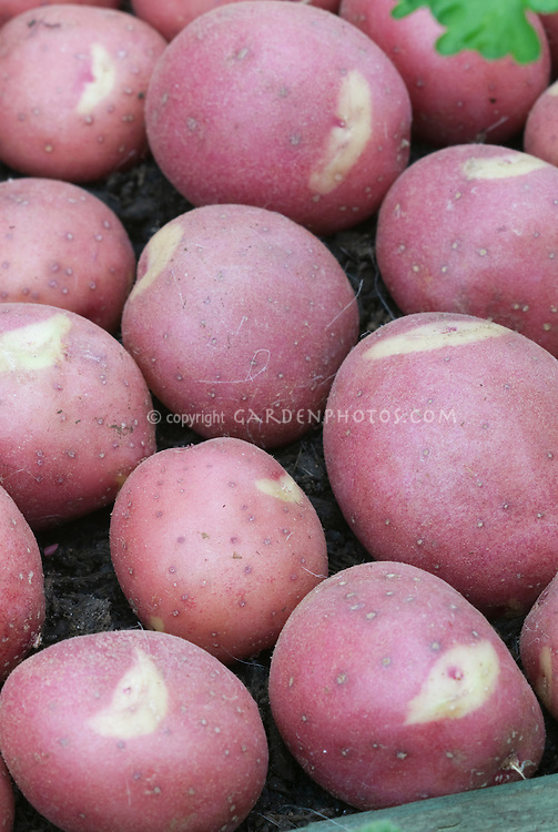 Potatoes 'Smile' Solanum red with white smile markings on skin