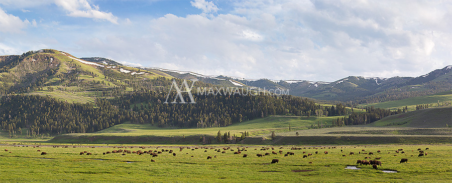 A bison herd grazes on the floor of the Lamar Valley. I saw what was probably the largest herd I've ever encountered in the park during this trip.<br /> <br /> This is a multishot panorama.