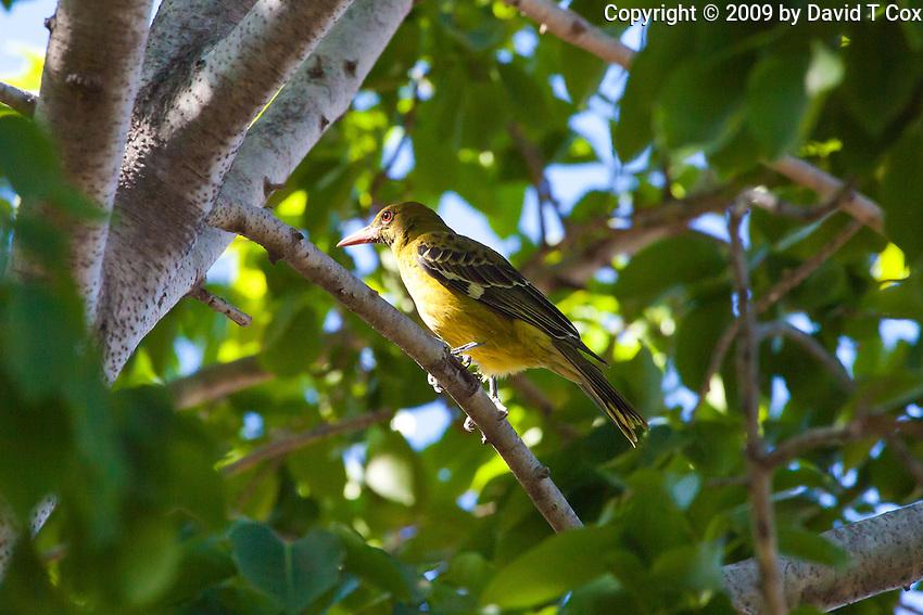 Yellow Oriole, Jabiru Camp, Kakadu NP, NT, Australia