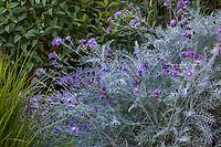 Centaurea gymnocarpa (syn. Centaurea candidissima) purple flowering Dusty Miller, summer-dry, drought tolelrant perennial flowering at Marin Art and Garden Center