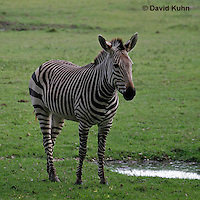 0209-08vv  Hartman's Mountain Zebra, Equus zebra hartmannae © David Kuhn/Dwight Kuhn Photography