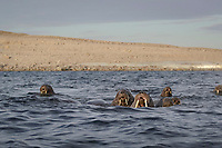 Atlantic walruses, Odobenus rosmarus rosmarus, herd swimming, Svalbard, Norway, Europe, Arctic Ocean