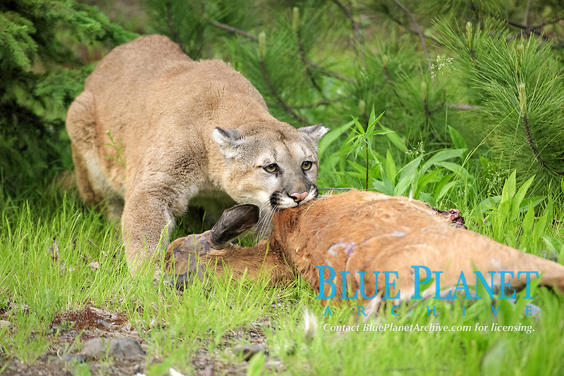 Puma (Puma concolor), adult, feeding on deer kill, dragging prey into undergrowth, Minnesota, USA, America, North America