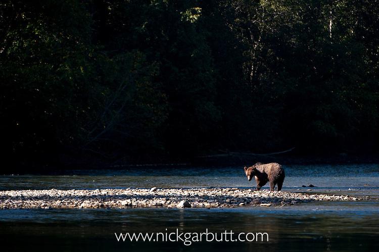 Grizzly Bear (Ursus arctos horribilis) Atnarko River, Tweedsmuir Park, British Columbia, Canada