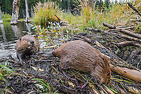 Two North American Beavers (Castor canadensis) working on their dam.  Northern Rockies, FAll.