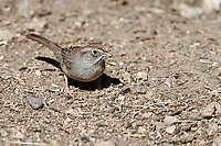 Rufous-crowned Sparrow (Aimophila ruficeps scottii) foraging in Madera Canyon, Green Valley, Arizona.