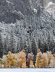 Yosemite National Park, California<br /> Trees of El Capitan Meadow showing late fall colors and a dusting of snow, Yosemite Valley