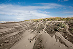 """Largesand dune drying in high wind following spring storm.  Loomis Lake State Park, Long Beach Penninsula, Washington.  Dunes along """"The World's Longest Beach"""" form striking landscapes. Olympic Peninsula"""