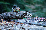 Douglas's Squirrel (Tamiasciurus douglasii) feeding on fir cone seeds, Sierra Nevada, Sequoia National Park, California
