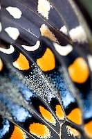 Black Swallowtail Papilio polyxenes Close-up of wing