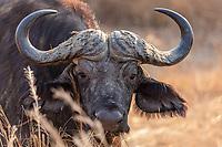 Africa, Zambia, South Luangwa National Park, buffalo