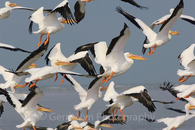 Flock of American White Pelicans (Pelecanus erythrorhynchos) taking flight. Texas. March.