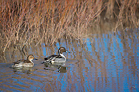 Gorgeous drake Northern Pintail (Anas acuta) leads his mate along the edge of a pond, Bosque del Apache National Wildlife Refuge, New Mexico.
