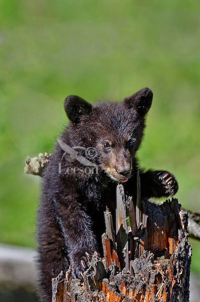 """Wild Black Bear (Ursus americanus) cub playing on tree stump.  Western U.S., spring. (This is what is known as a """"coy""""--cub of the year.)"""