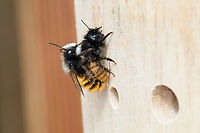 Gehörnte Mauerbiene, Paarung, Kopulation, Kopula, Männchen und Weibchen, Osmia cornuta, European orchard bee, orchard bee, hornfaced bee, male and female, pairing, L'osmie cornue, Mauerbiene, Mauerbienen, Mason bee, mason bees