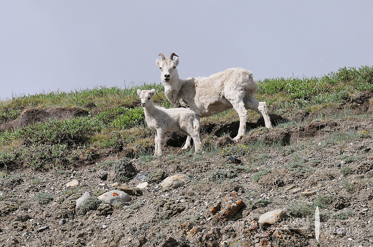 A mother Dall Sheep and her lamb along the Kongakut River, in Alaska's Arctic National Wildlife Refuge.