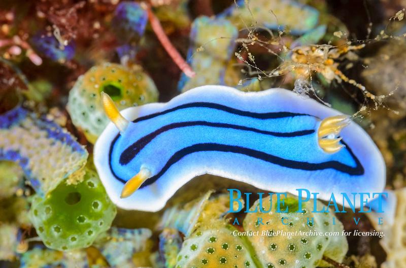 Sea Slug or Nudibranch, Chromodoris lochi, Anilao, Batangas, Philippines, Pacific Ocean