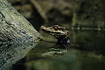 Dwarf caiman in water with head sticking up reflection indoors at the Washington Park Zoo Portland Oregon State USA