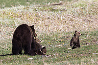 Black bear (ursus americanus) with cubs in Yellowstone National Park