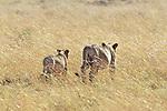 Lionesses & Cub