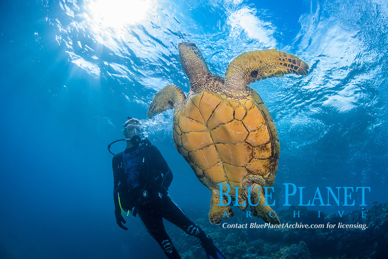 green sea turtle, Chelonia mydas, Maui, Hawaii, USA, Pacific Ocean, MR