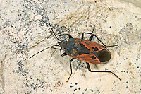 Bodenwanze, Rhyparochromus phoeniceus, Bodenwanzen, Langwanzen, Lygaeidae, milkweed bugs, seed bugs