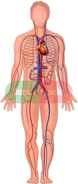 Cardiovascular System Anatomy. Depicts full standing male figure with heart, along with major arteries and veins.