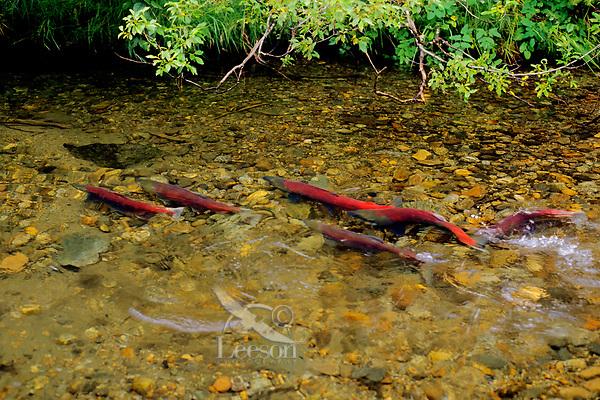Sockeye salmon (Oncorhynchus nerka), spawning stream.