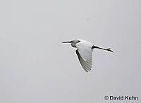0202-08oo  Flying Snowy Egret,  Egretta thula © David Kuhn/Dwight Kuhn Photography
