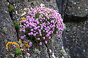 Flowering thrift {Armeria maritima} growing on cliff face. Isle of Staffa, Inner Hebrides, Scotland, UK.