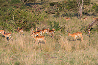 Tanzania. Serengeti. Male Impala Driving his Harem.