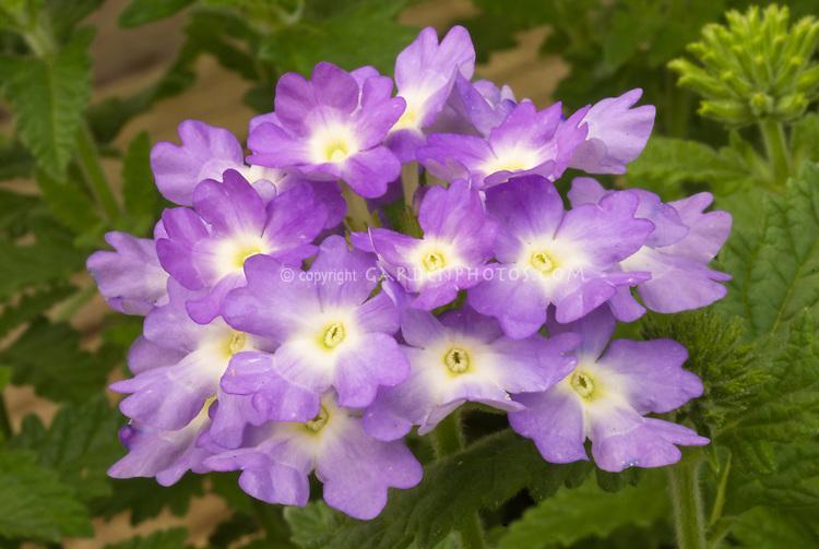 Verbena 'Talman's Fragrant Treasure' scenter lavender purple annual flowers