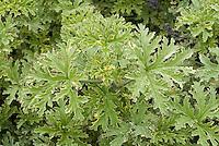 Pelargonium 'Lady Plymouth' (AGM) (Sc/v) rose scented geranium, Pelargonium graveolens