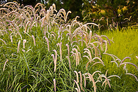 Pennisetum 'Tall Tails' in urban park meadow garden, flowering grass; Jeffrey Open Space, Irvine California